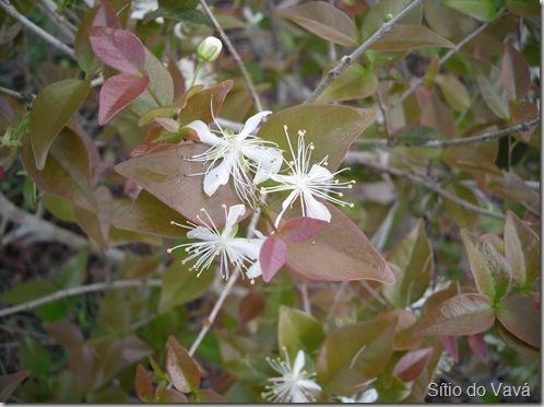 flor da pitangueira