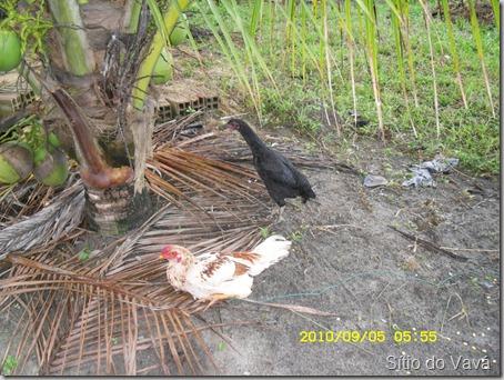 O galo Galego e a galinha Pretinha
