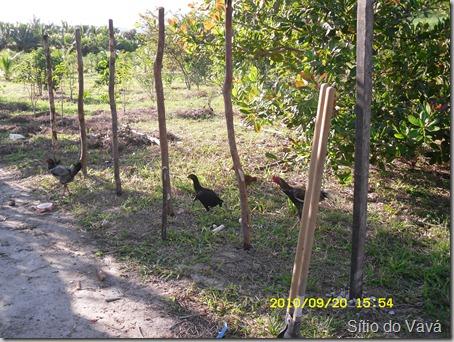 Início do galinheiro