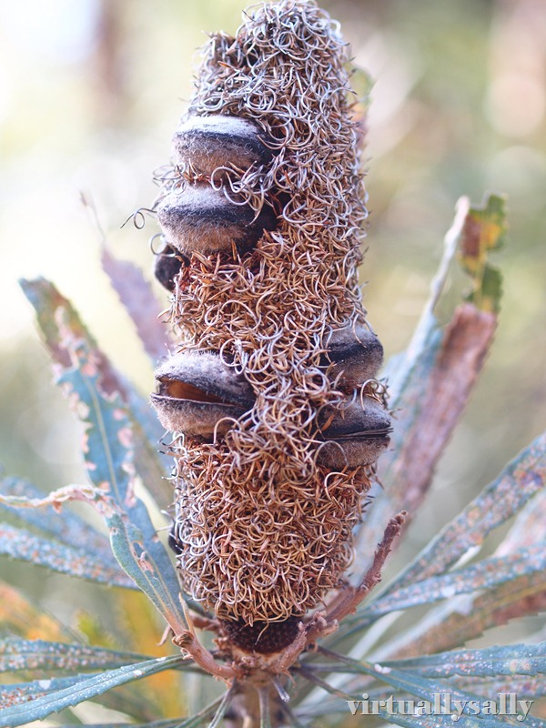 the banksia man
