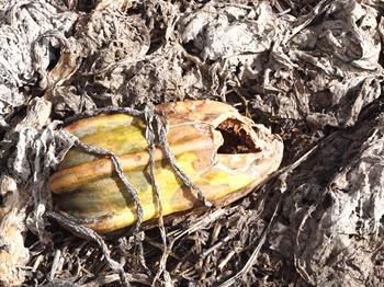 decaying pumpkin july 10