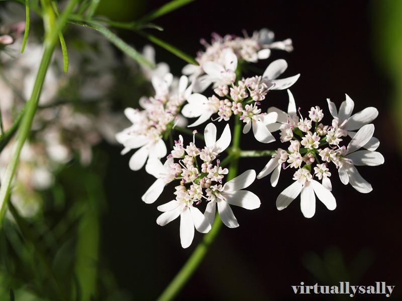 coriander blooms