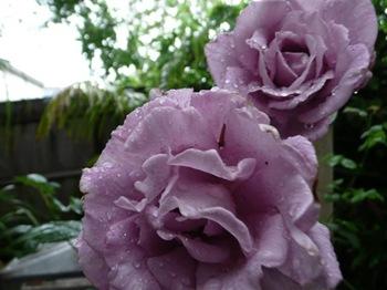 roses_in-rain (Small)