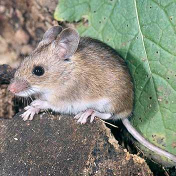 explication des differentes races de rat en images nom latin. Black Bedroom Furniture Sets. Home Design Ideas