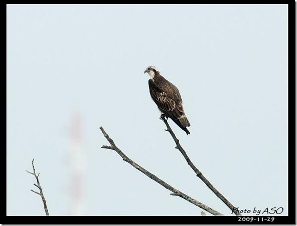 魚鷹(2009-11-29宜蘭新南)073