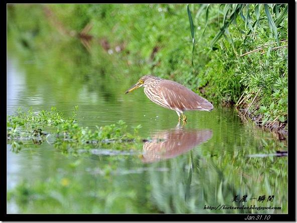 池鷺(2010-01-31礁溪)9149
