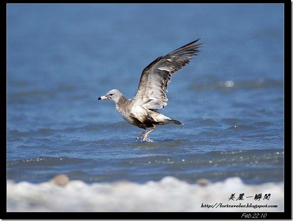 黑尾鷗(2010-02-22花蓮溪口)6496