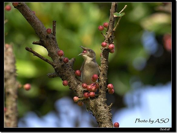 灰背椋鳥(2008-10-17社頂公園)9082