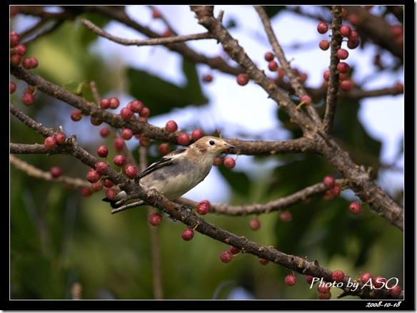 紫背椋鳥(2008-10-18社頂公園)9088