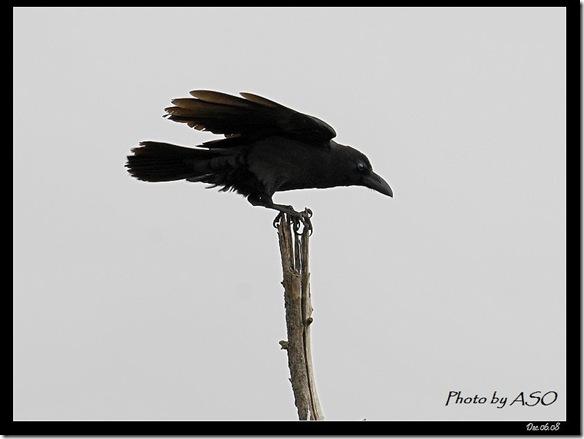 巨嘴鴉(2008-12-06康樂海濱)3838 複製