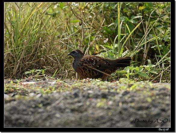 竹雞(2008-12-08鳳林)4241
