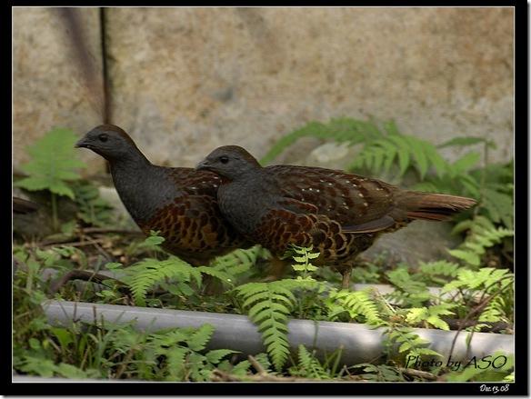 竹雞(2008-12-13鳳林)4417