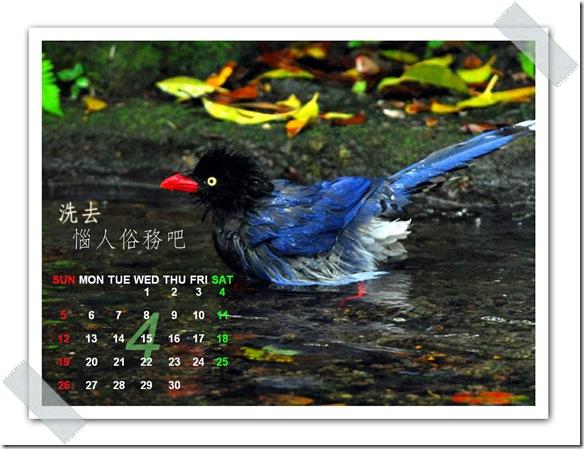 4月  台灣藍鵲(攝於  陽明山前山公園)