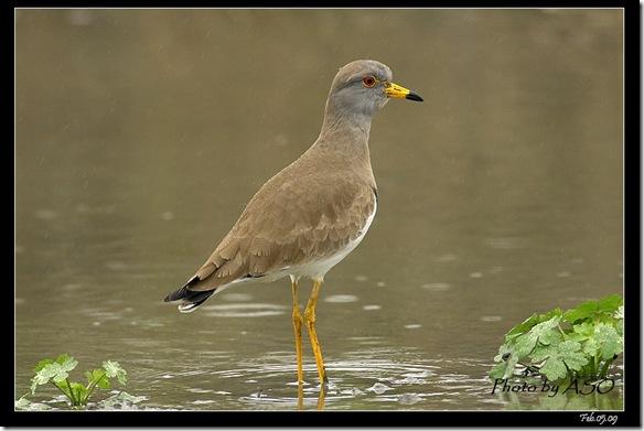 跳行鳥(2009-02-05宜蘭塭底)6829