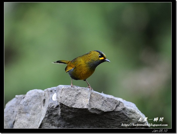 藪鳥(2010-01-05新中橫120K)9900