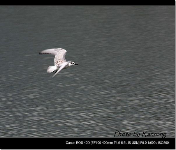 黑腹燕鷗(2008-10-04壽豐養殖區)8577