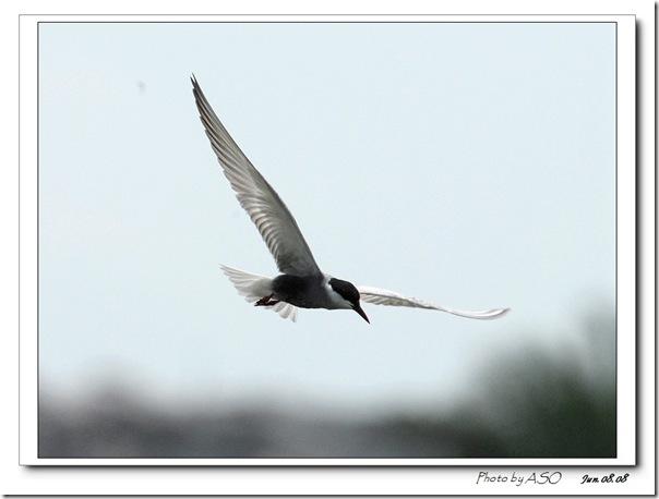 黑腹燕鷗0075