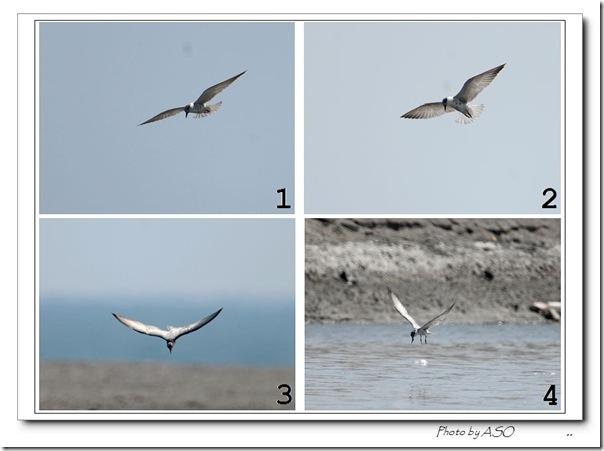 黑腹燕鷗(2008-09-21太平溪口)0956