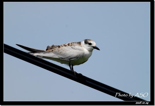 黑腹燕鷗(2008-10-04壽豐養殖區)0353