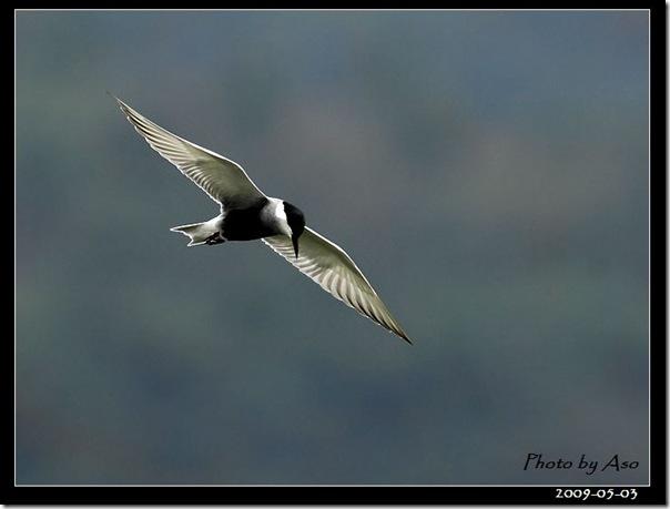 黑腹燕鷗(2009-05-03豐坪)9760