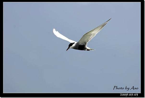 黑腹燕鷗(2009-05-03豐坪)9770