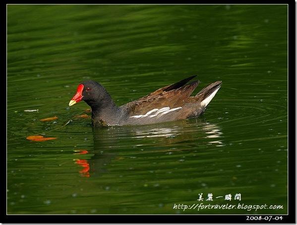 紅冠水雞(2008-07-04植物園)0380