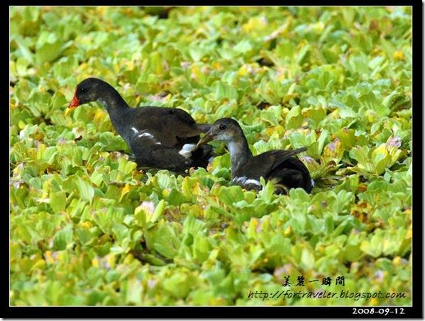 紅冠水雞(2008-09-12豐坪)0012
