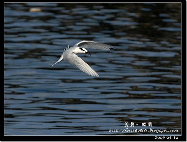 蒼燕鷗(2009-05-08大溪漁港)5518