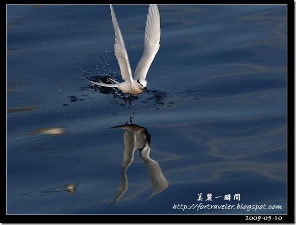 蒼燕鷗(2009-05-08大溪漁港)5665