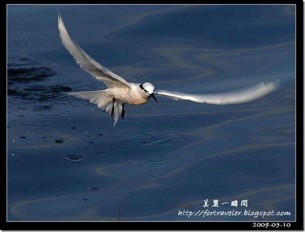 蒼燕鷗(2009-05-08大溪漁港)5666