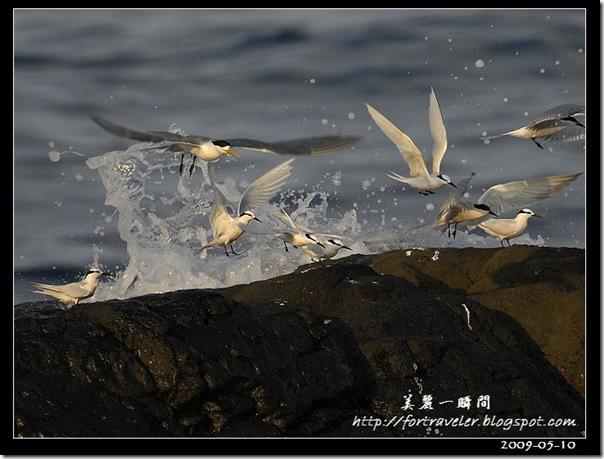 蒼燕鷗(2009-05-10大溪漁港)0635