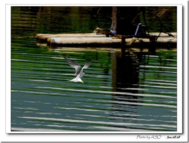 小燕鷗(2008-06-08壽豐)0115