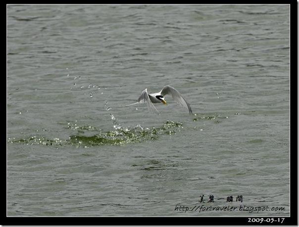 小燕鷗(2009-05-17豐坪)1050