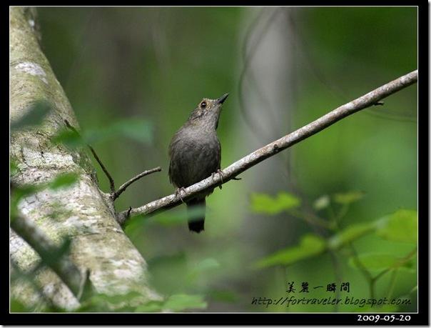 頭烏線(2009-05-20鯉魚山)1130