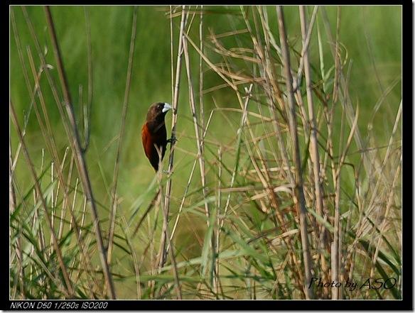 黑頭文鳥(2006-03-18田埔)0326