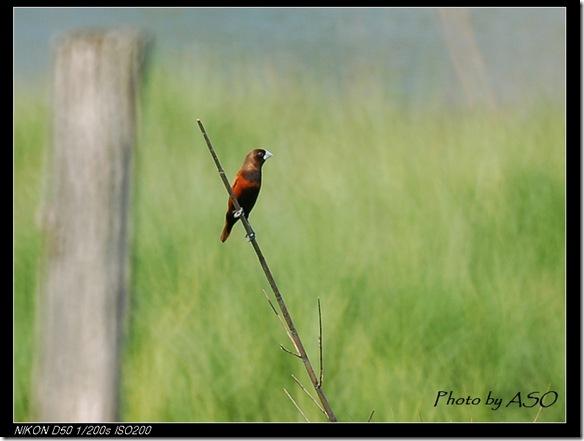 黑頭文鳥(2006-03-18田埔)0327
