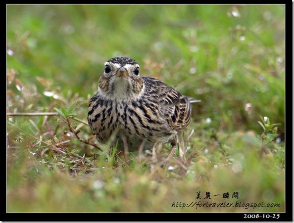 小雲雀(2008-10-24七星潭)1448