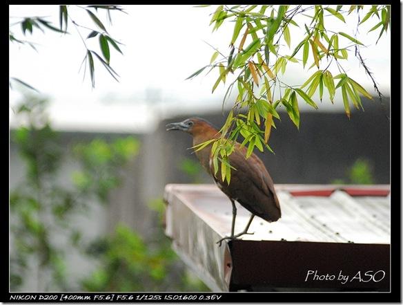黑冠麻鷺(太昌)0075