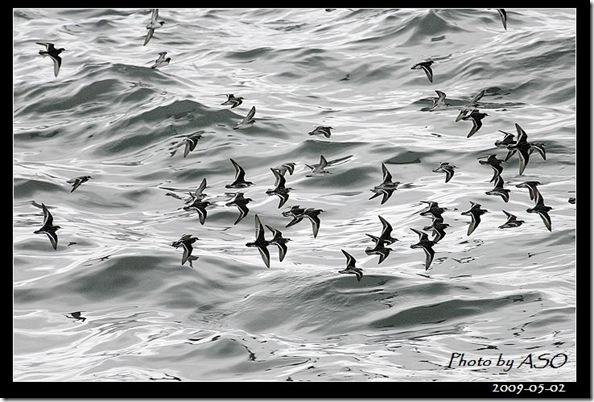 紅領瓣足鷸(2009-05-02北濱海邊)9530