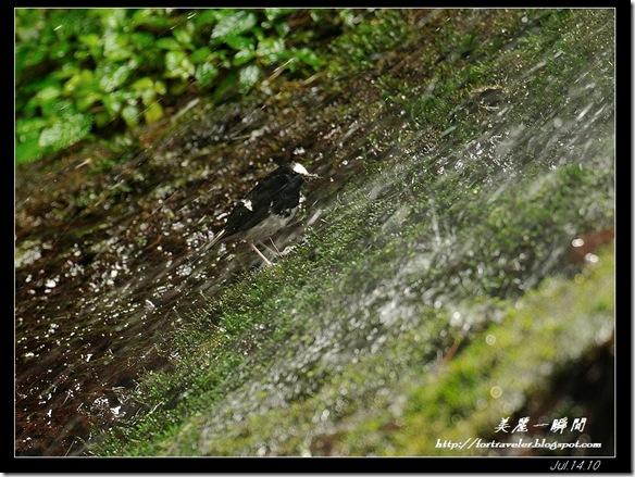 小剪尾(2010-07-17杉林溪)0629