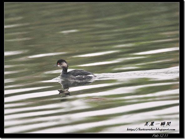 黑頸鷿鷈(2011-02-13塭底)6597