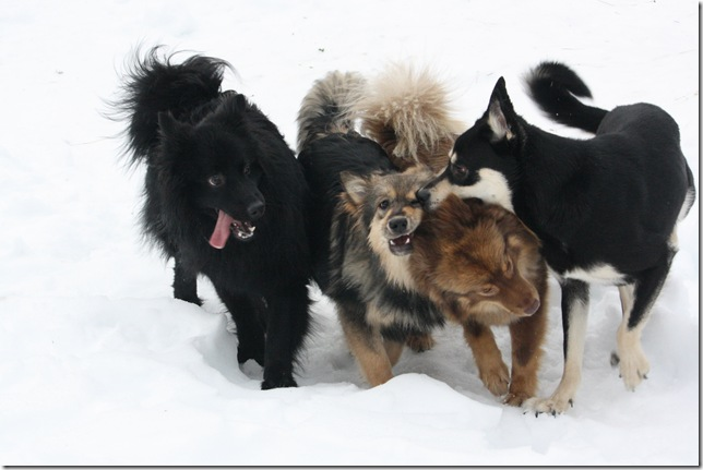 Lapphundtreff Tueneset 2010 060