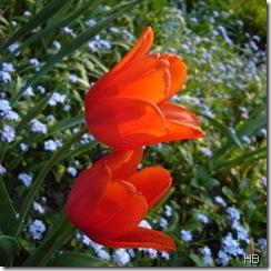 Tulpen und Vergissmeinicht © H. Brune