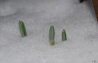 Triebe der Schneeglöckchen im Schnee © H. Brune