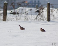 Rebhühner im Schnee © H. Brune