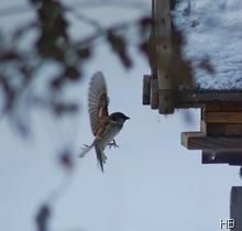 Spatz im Anflug auf das Futterhaus © H. Brune