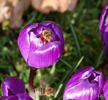 Biene im Krokus © H. Brune