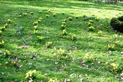 Mininarzissen im Garten © H. Brune