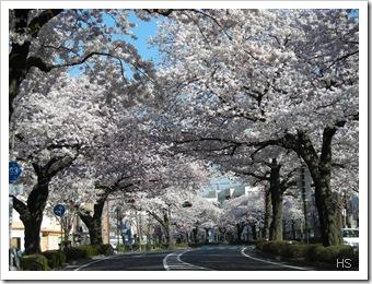 Sakura © H. Sumiya