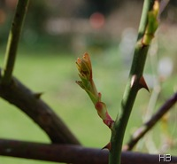 Rosentrieb im Frühjahr © H. Brune